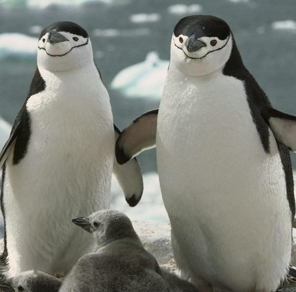пингвины - гомосексуалисты